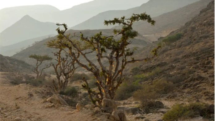 Research Project Hopes To Produce COVID-19 Medicine From Frankincense