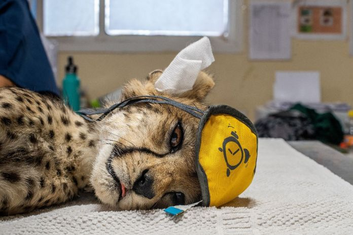 How Trafficked Cheetah Cubs Move From Wild Into Your Instagram Feed
