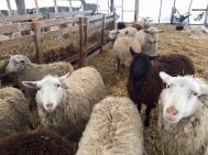Sheep at Bonnieview