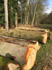 Felled oaks