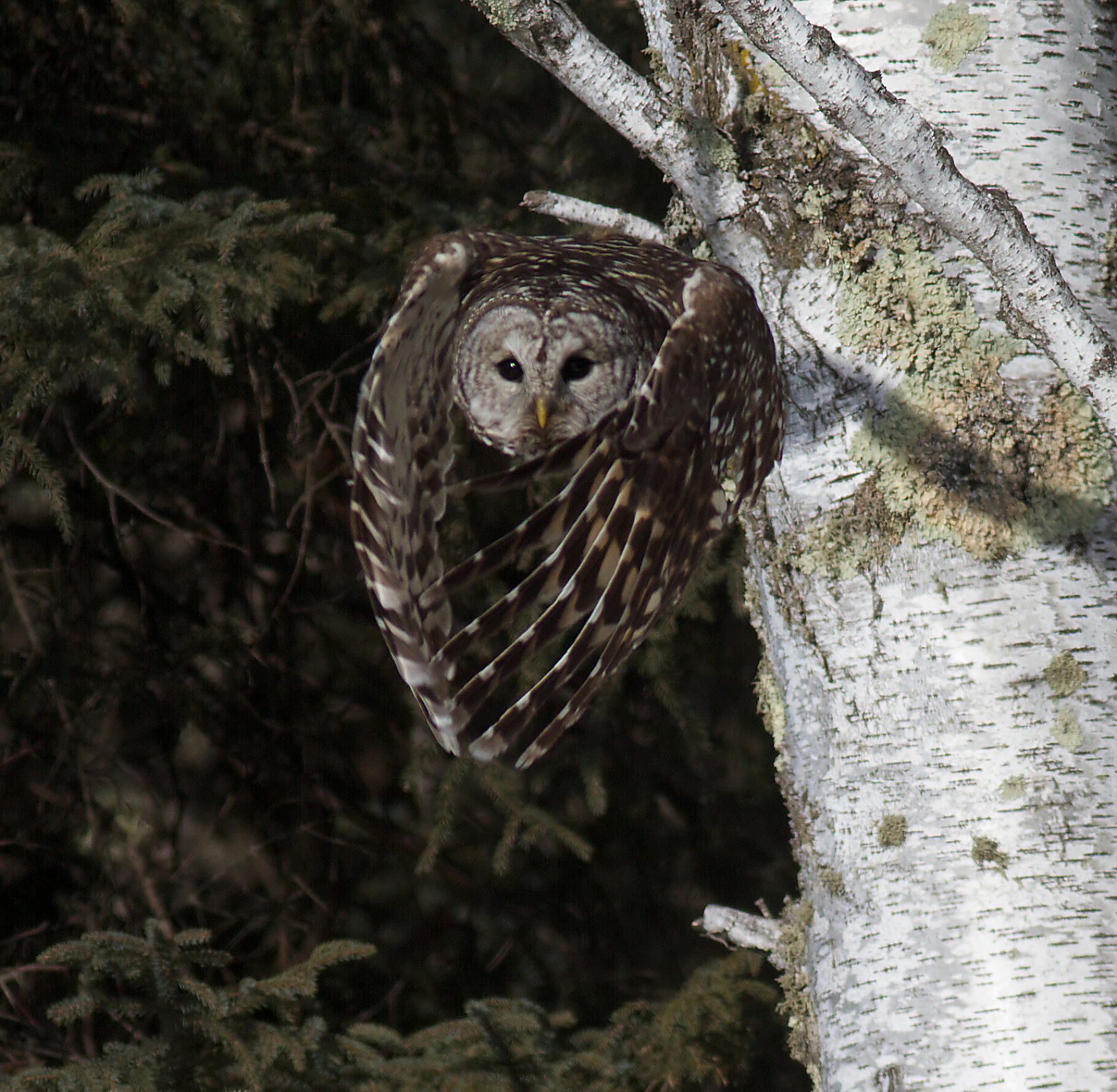 Owls  Friends of SaxZim Bog