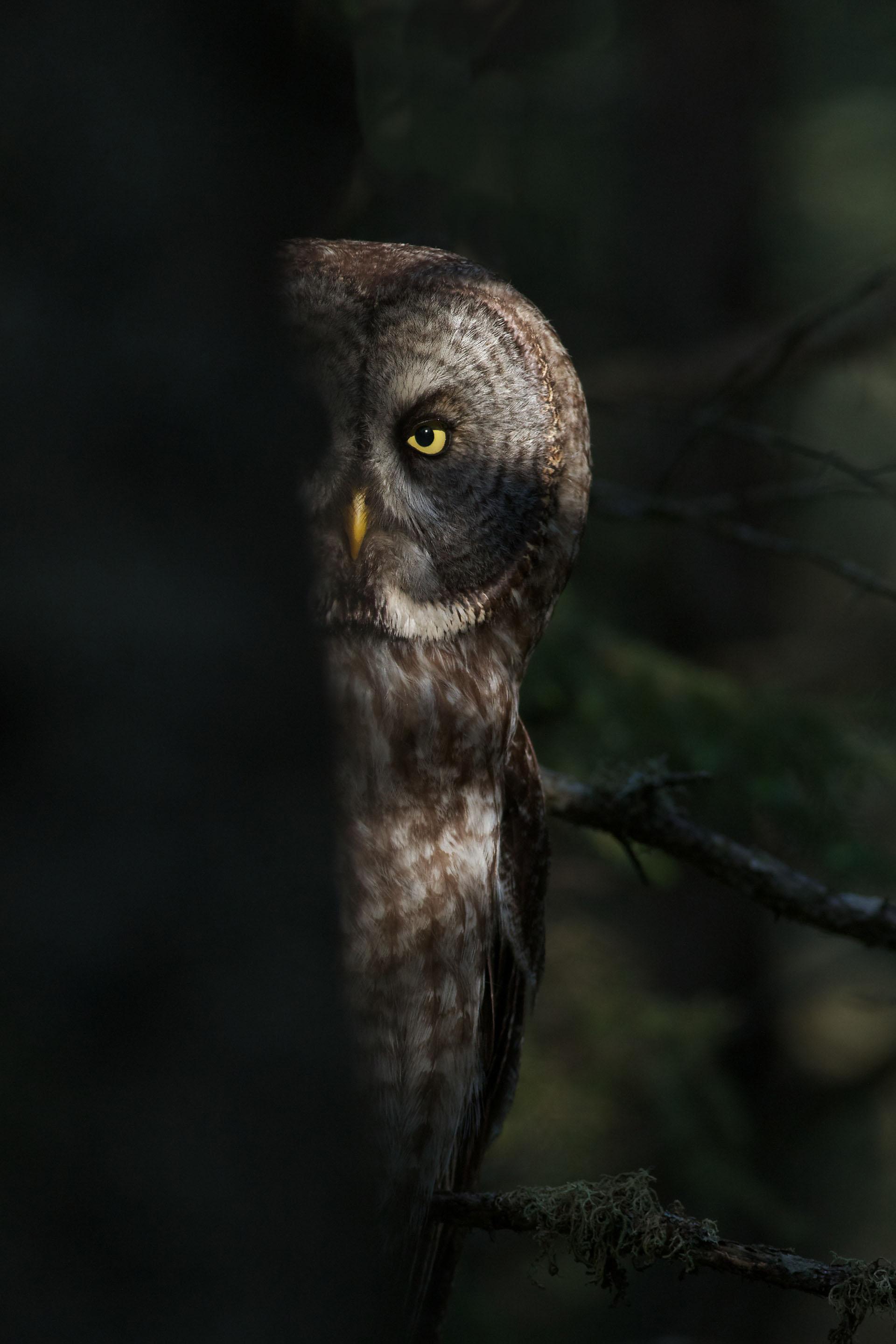 Cute Grey Wallpaper Owls Friends Of Sax Zim Bog