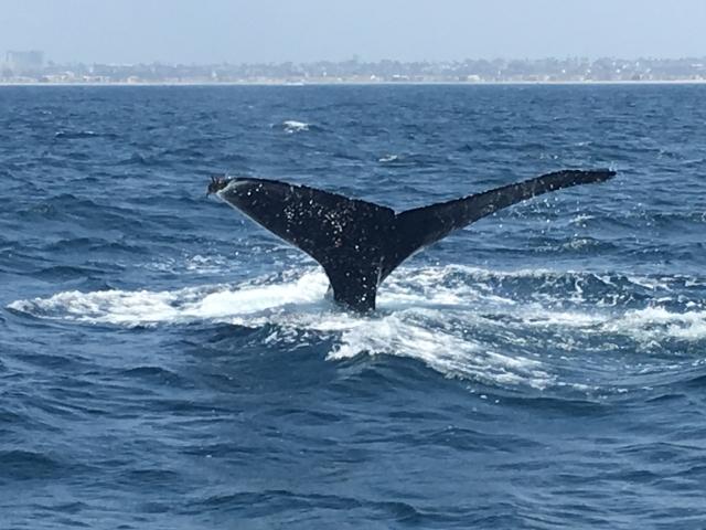 日本は本格的に商業捕鯨を再開する