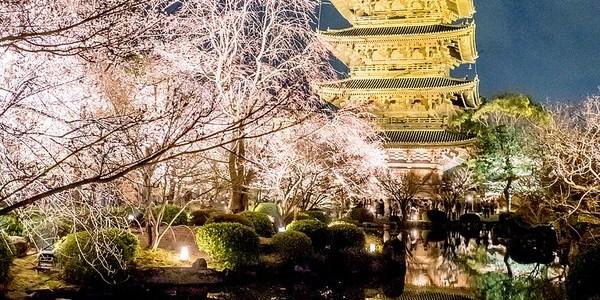 京都 東寺 夜桜ライトアップ と 二条城桜まつり2017  #桜 #Locketsリレー