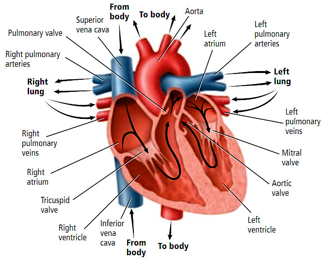 Gambar Jantung Aliran Darah