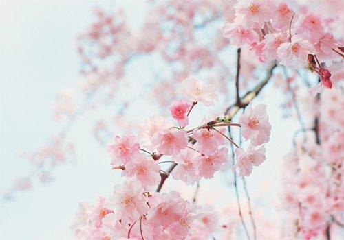 Falling Cherry Blossom Wallpaper Hd Season Of Love Cherry Blossom Say Korean Fanfiction