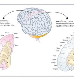 functions of the cortex [ 2309 x 1549 Pixel ]
