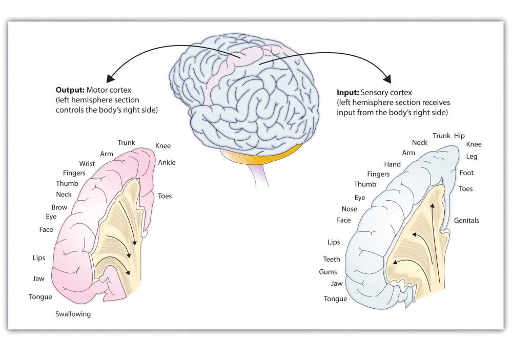 medium resolution of functions of the cortex