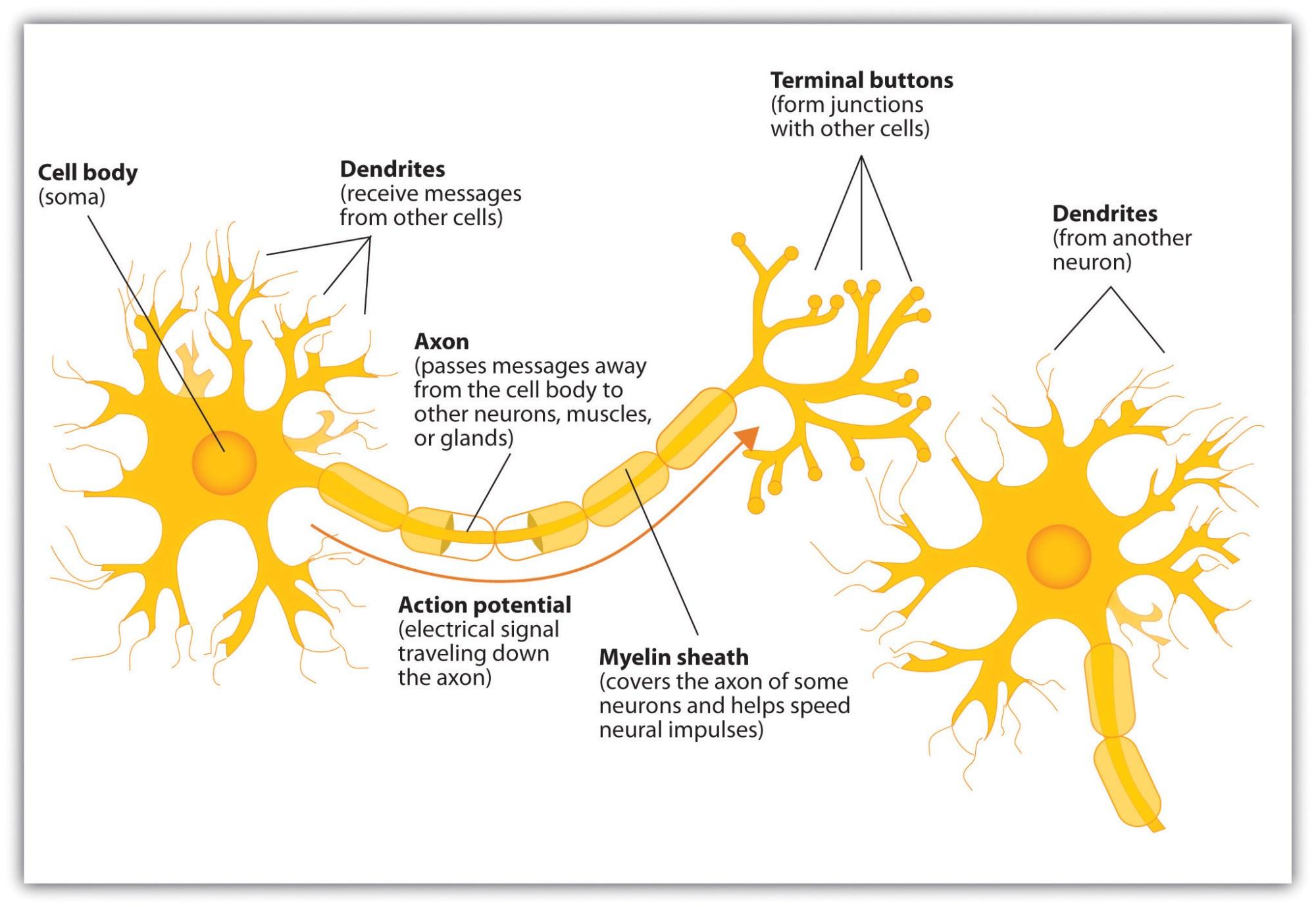 hight resolution of neuron diagram