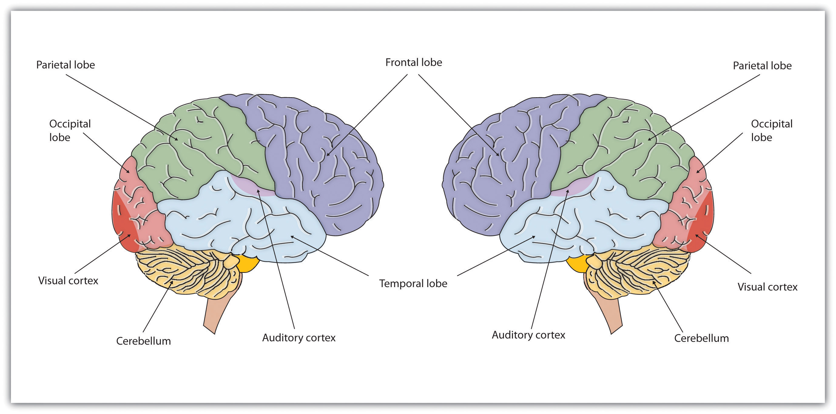 Brains Bo S And Behavior