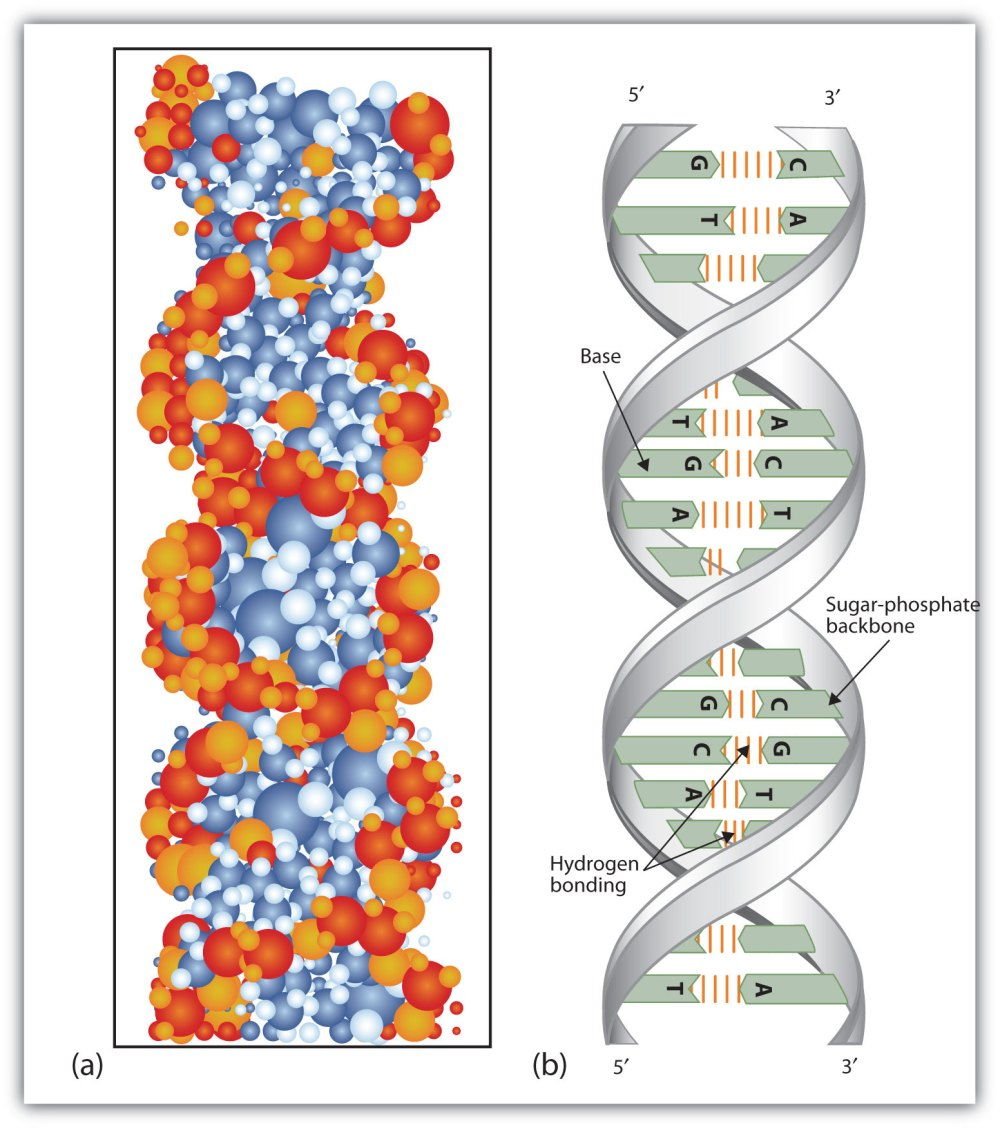 medium resolution of secondary structure of dna