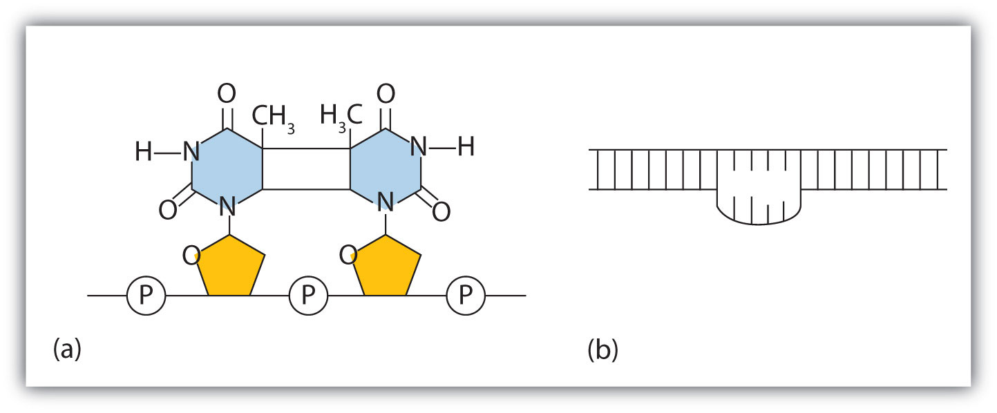 hight resolution of  a the thymine dimer is formed by the action of uv light b when a defect in the double strand is produced by the thymine dimer this defect temporarily