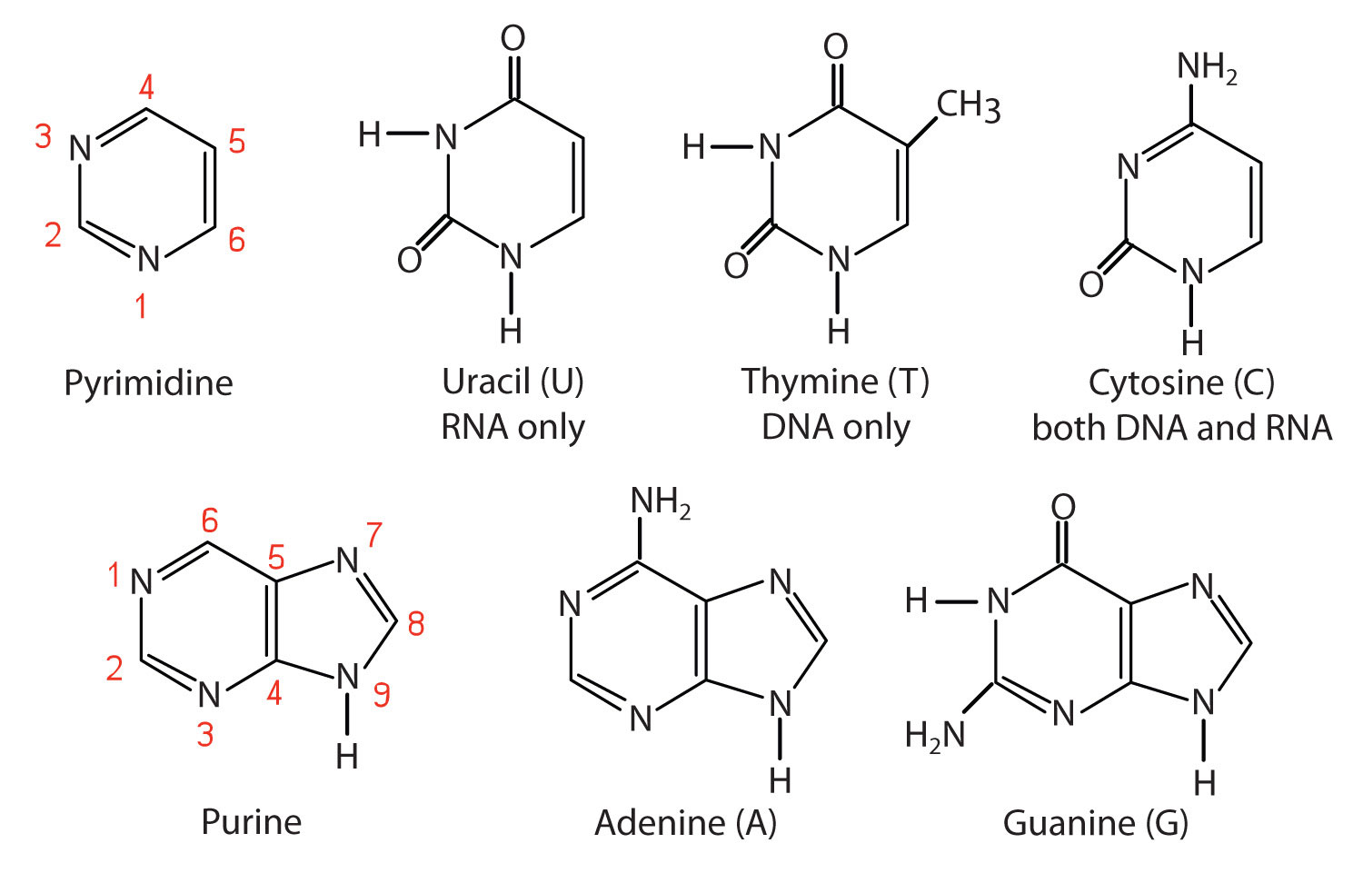 hight resolution of label the diagram of dna nucleotide and basis