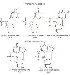 dna nucleotide and basis diagram [ 1500 x 1423 Pixel ]