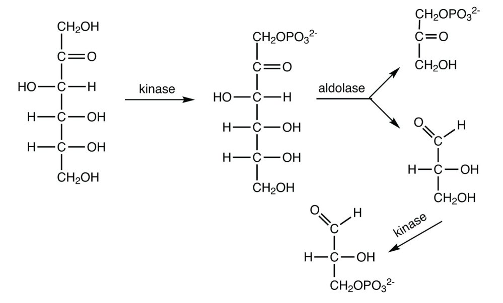 medium resolution of when oxygen is abundant nadh is reoxidized through the reactions of the electron transport chain
