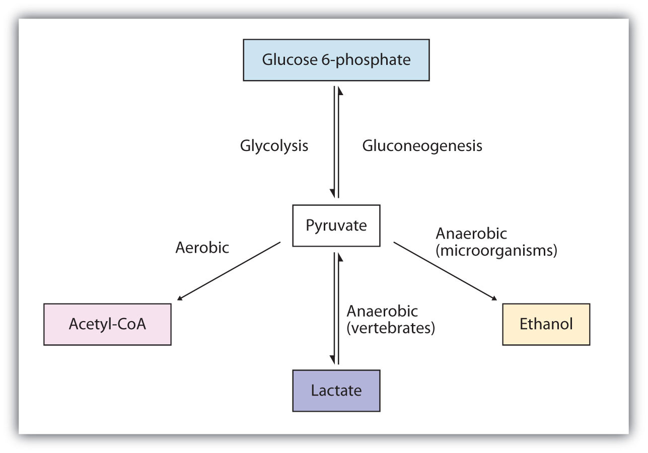hight resolution of metabolism of pyruvate