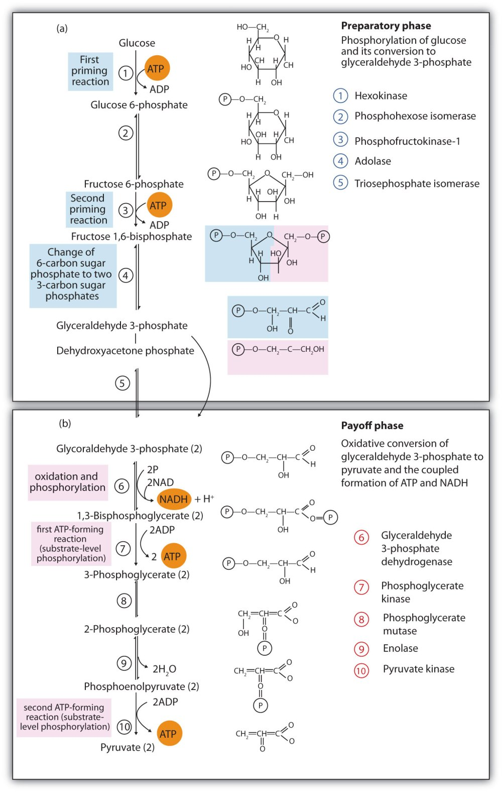 medium resolution of steps in glycolysis