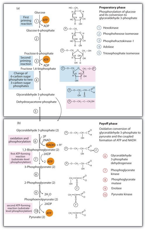small resolution of steps in glycolysis