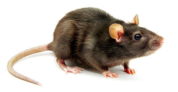 rat-580x300