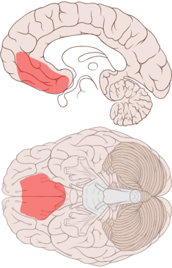 Ventromedial prefrontal cortex highlighted in the medial and ventral views of the brain