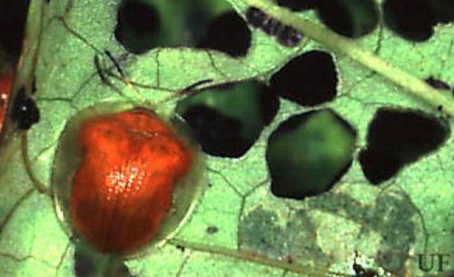 Golden tortoise beetle (Credit: Paul Choate, Univeristy of Florida)