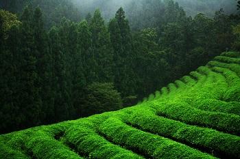 Green tea plantation (Credit: Brijesh Bolar/Flickr)