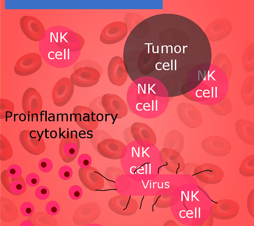 Natural Killer (NK) Cells and Their immunological memory