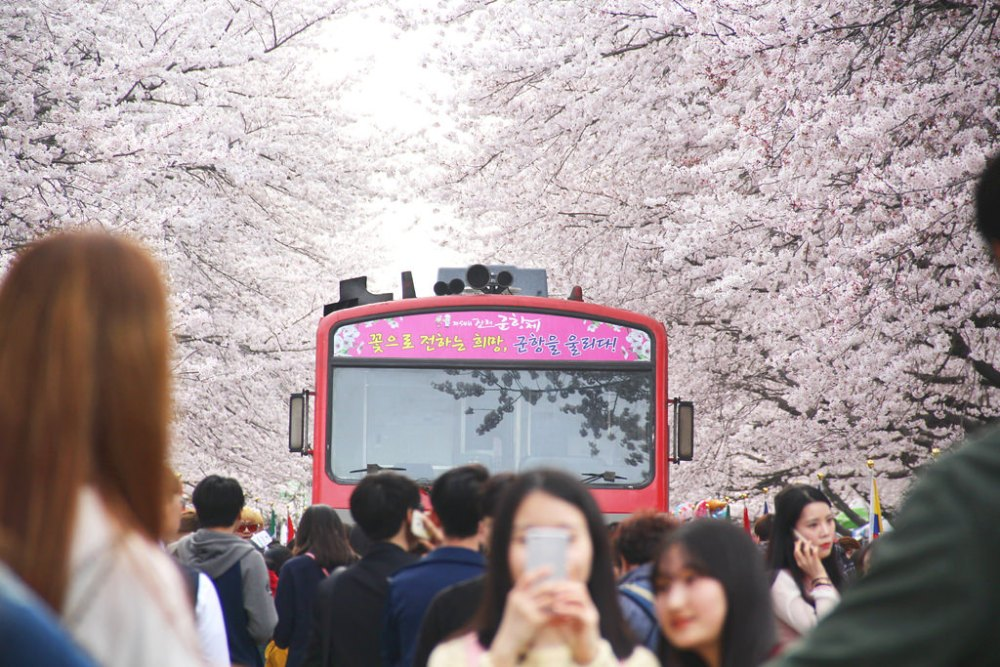 Travel Photographer | Spring in Jinhae South Korea