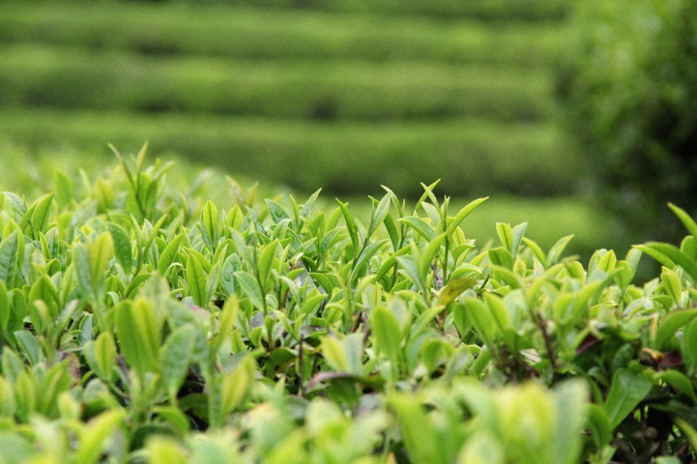 Green tea leaves up close.