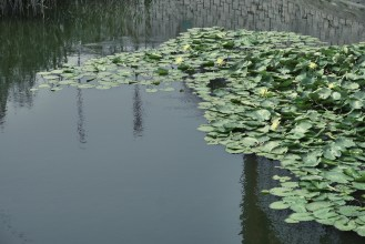 Lotus leaves at Ping Shan Heritage Trail.