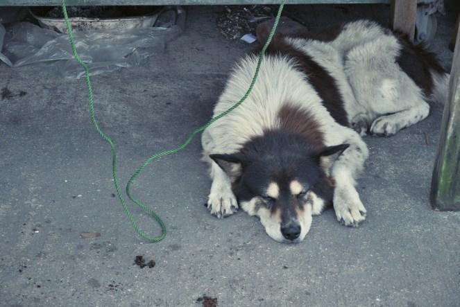 Dog at Hang Tau Tseun.