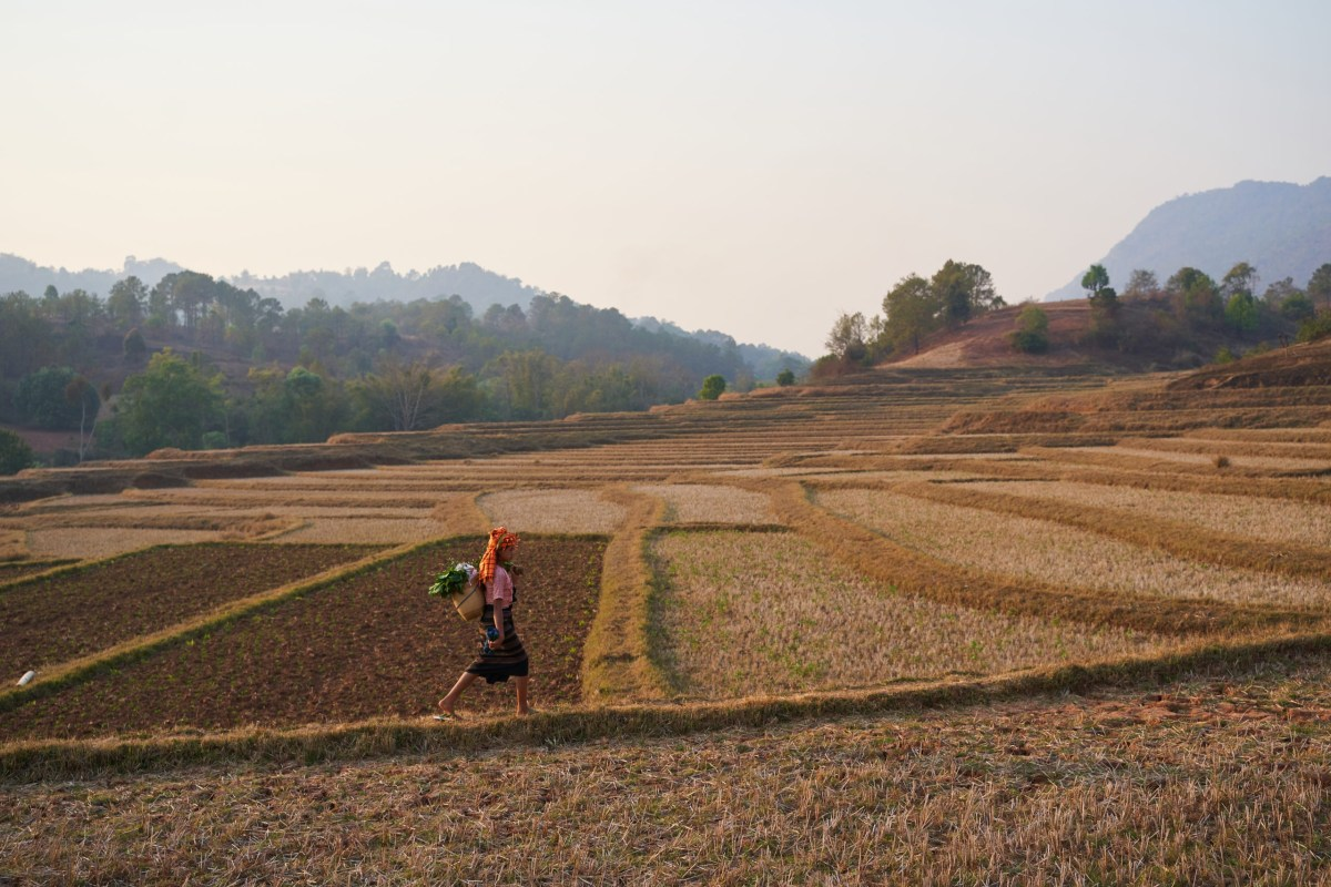 Burmese woman walking through rice fields