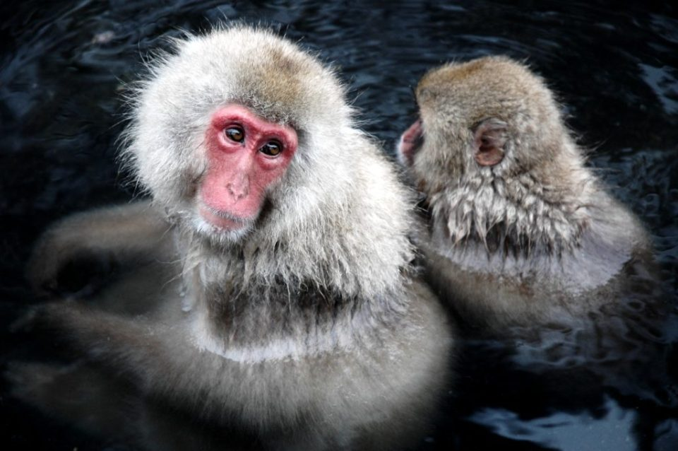 Yudanaka snow monkeys