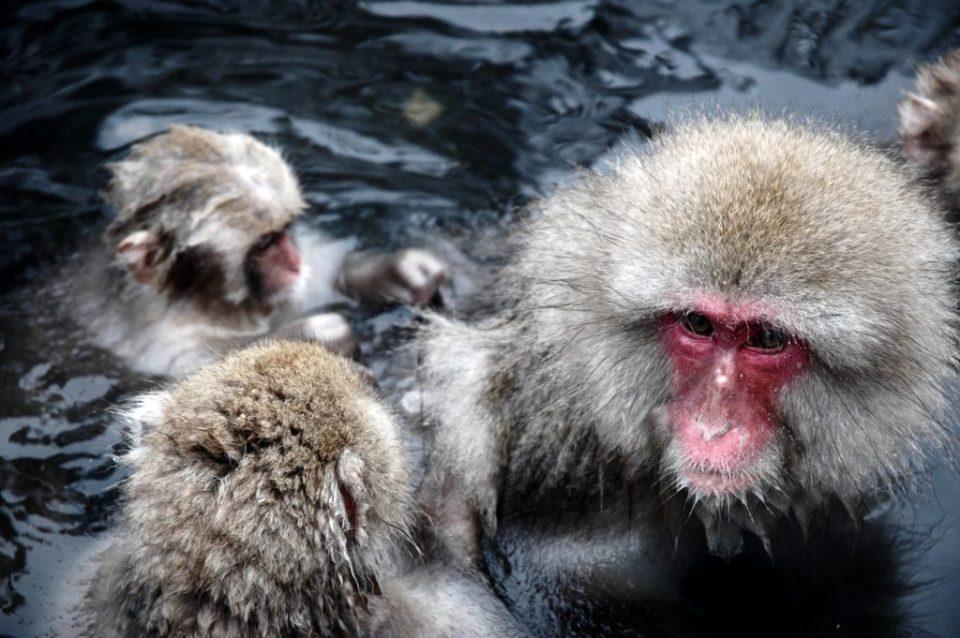 Monkeys bathing in Yudanaka