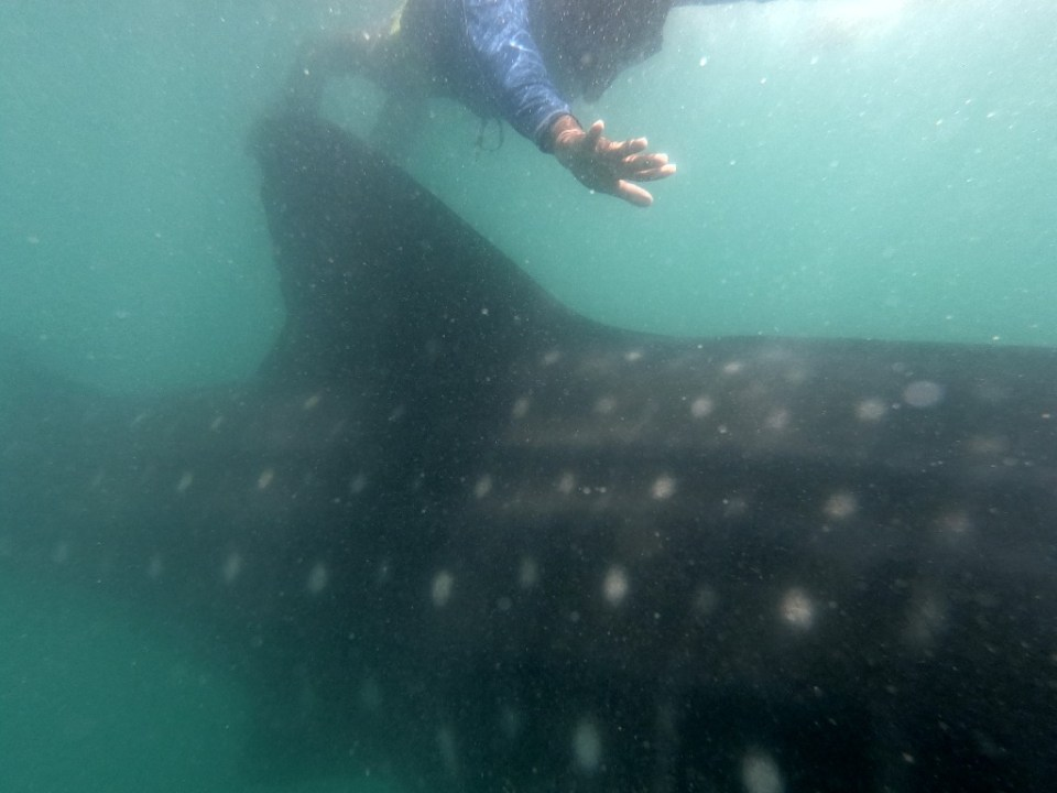 Swimming with a whale shark in Donsol