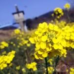 線路わきで…堤防で… 只今、菜の花が満開!!【oyageeの植物観察日記】