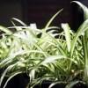 オリヅルランの管理 育て方や特徴、増やし方、水やり、失敗しないコツをご紹介【oyageeの植物観察日記】