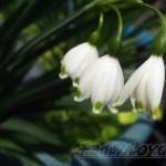 ツリガネソウ、もとい…この花の正体は…?【oyageeの植物観察日記】