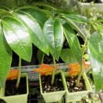 ピンポンの木の管理|育て方や特徴、増やし方、水やり、失敗しないコツをご紹介【oyageeの植物観察日記】
