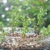 oyageeの知らない「ゴールドクレスト」の世界【oyageeの植物観察日記】