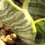 しわしわの葉のサンセベリア、発根事実を確認! ラジャー!!【oyageeの植物観察日記】