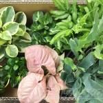 ピンクのシンゴニウムに肉厚ペペロミア… 観葉植物の誘惑に負け、春の新作を大人買い!【oyageeの植物観察日記】