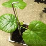 「ウンベラータ」を「ウエカエータ」─フィカス・ウンベラータの植え替え─【oyageeの植物観察日記】