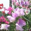 春色の花が咲く植物はマメ科の野菜なのか?【oyageeの植物観察日記】