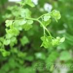 アジアンタムの新芽が、白いゴムノキが…oyageeの心もポキッと折れる日【oyageeの植物観察日記】