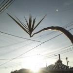 Rising Sun ─世界に一つだけのコンシンネになる為、明日に向かって曲がれ─【oyageeの植物観察日記】