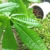 問題児「パキラ」の大失態!やってもぉた…【oyageeの植物観察日記】