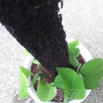 ポトス de ヘゴ ─グリーンポトスに支柱を立てて、ヘゴ材仕立てに─【oyageeの植物観察日記】