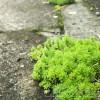 側溝付近で「あ、多肉植物だ!」と拾ってきた植物って、ただの雑草? 苔類の仲間? それともoyageeのお宝…?【oyageeの植物観察日記】