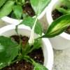 スパティフィラムの先の白いものは、もしかしてアレ? だけど、隣の葉に興味津々…【oyageeの植物観察日記】